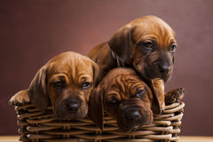 Puppies, wicker basket Royalty Free Stock Image
