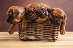 Puppies, wicker basket Royalty Free Stock Photos