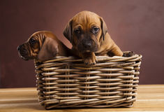 Puppies, wicker basket Stock Photos