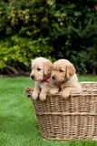Puppies in a wicker basket Stock Images