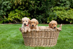 Puppies in a wicker basket Stock Photos
