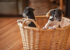 Puppies in wicker basket stock images