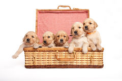 Puppies in a wicker box Royalty Free Stock Images