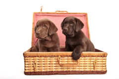 Puppies in a wicker box Stock Images