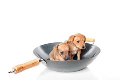 Puppies in wok. Two puppies sitting in a wok pan royalty free stock photo