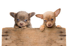 Puppies in a wooden crate Royalty Free Stock Photo