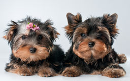 Puppies of yorkshire terrier Royalty Free Stock Photos