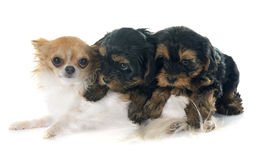 Puppies yorkshire terrier and chihuahua Royalty Free Stock Photos
