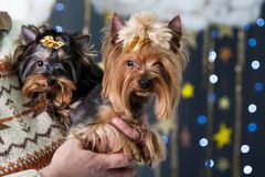 Puppies of the Yorkshire terrier in a Christmas studio Stock Photography