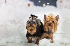 Puppies of the Yorkshire terrier in a Christmas studio Royalty Free Stock Images