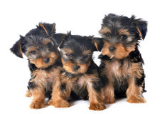 Puppies yorkshire terrier Stock Photo
