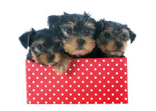 Puppies yorkshire terrier Stock Image