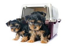 Puppies yorkshire terrier stock photos