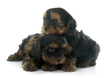 Puppies yorkshire terrier Royalty Free Stock Images
