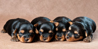 Puppies of a yorkshire terrier in studio Royalty Free Stock Photo