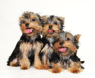 Puppies Yorkshire terrier Royalty Free Stock Photos