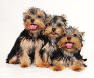 Puppies Yorkshire terrier Stock Photography
