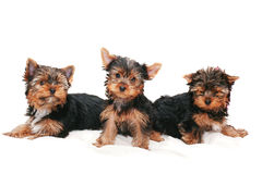 Puppies of yorkshire  terrier on  white background Stock Photos