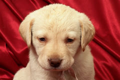 Puppies10.jpg. Puppy and red background Stock Images