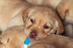 Puppies6.jpg Photos libres de droits