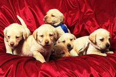 Puppies7.jpg. Group of puppies Royalty Free Stock Images