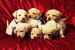 Puppies8.jpg. Group of puppies Stock Photo