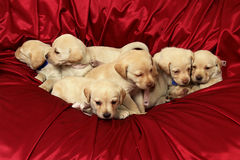 Puppies9.jpg. Group of puppiess Stock Image
