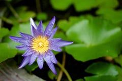 Pupple Lotus con la hoja verde Imágenes de archivo libres de regalías