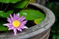 Pupple Lotus dans le vase Photographie stock libre de droits