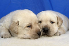 Pupppies do retriever de Labrador Imagens de Stock
