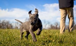 pupppy一只甜矮小的丹麦种大狗在绿草跳跃 库存图片