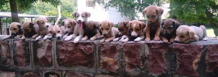Pupps Stockfotografie