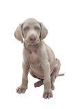 Puppy 01 van Weimaraner Royalty-vrije Stock Afbeelding