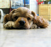 Puppy. A puppy dozing off stock image
