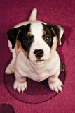 Puppy. Sweet Jack Russell puppy sitting on the carpet Royalty Free Stock Images