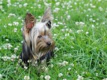Puppy Royalty Free Stock Photo