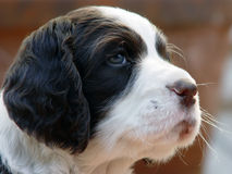 Puppy. Spaniel puppy Royalty Free Stock Images