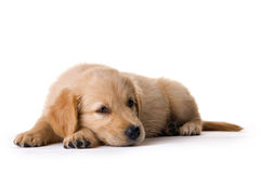 Puppy. In my studio Royalty Free Stock Photos