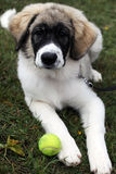 Puppy. On grass with ball stock images