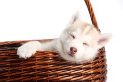 Puppy Stock Photos