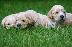 Puppy. On the grass, horizontally framed picture stock images