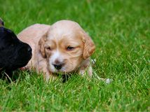 Puppy. On the grass, horizontally framed picture royalty free stock photos