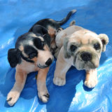 Puppy. Cute puppy's on blue mate background Royalty Free Stock Photography