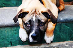 Puppy. This is a photo of sad puppy on the stair royalty free stock images