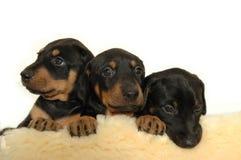 Puppy stock afbeelding