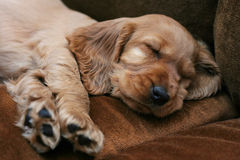 Puppy. Small puppy sleeping on the couch Stock Photo