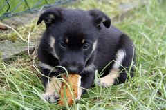 Puppy. Cute puppy eating a snack against green grass background Stock Image