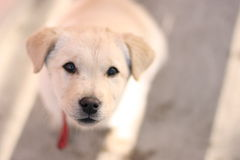 Puppy. Golden Labrador in detail with expressive eyes Stock Photos