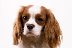 Puppy. Cavalier puppy in my studio Royalty Free Stock Photo
