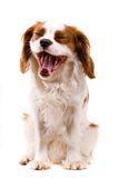 Puppy. Cavalier puppy in my studio Stock Photography
